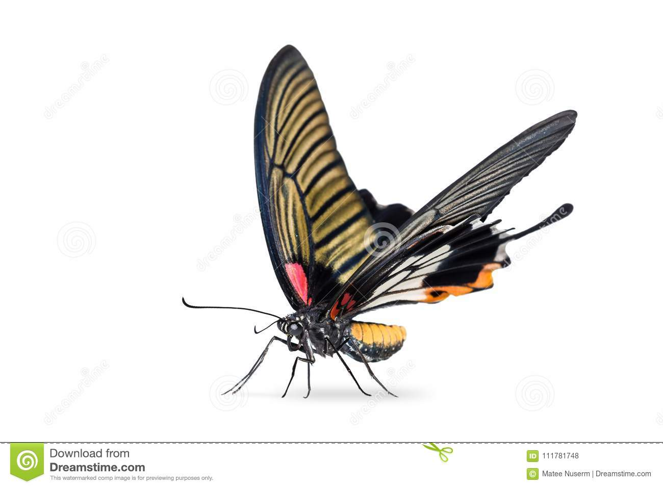 Female Great Mormon Papilio memnon butterfly