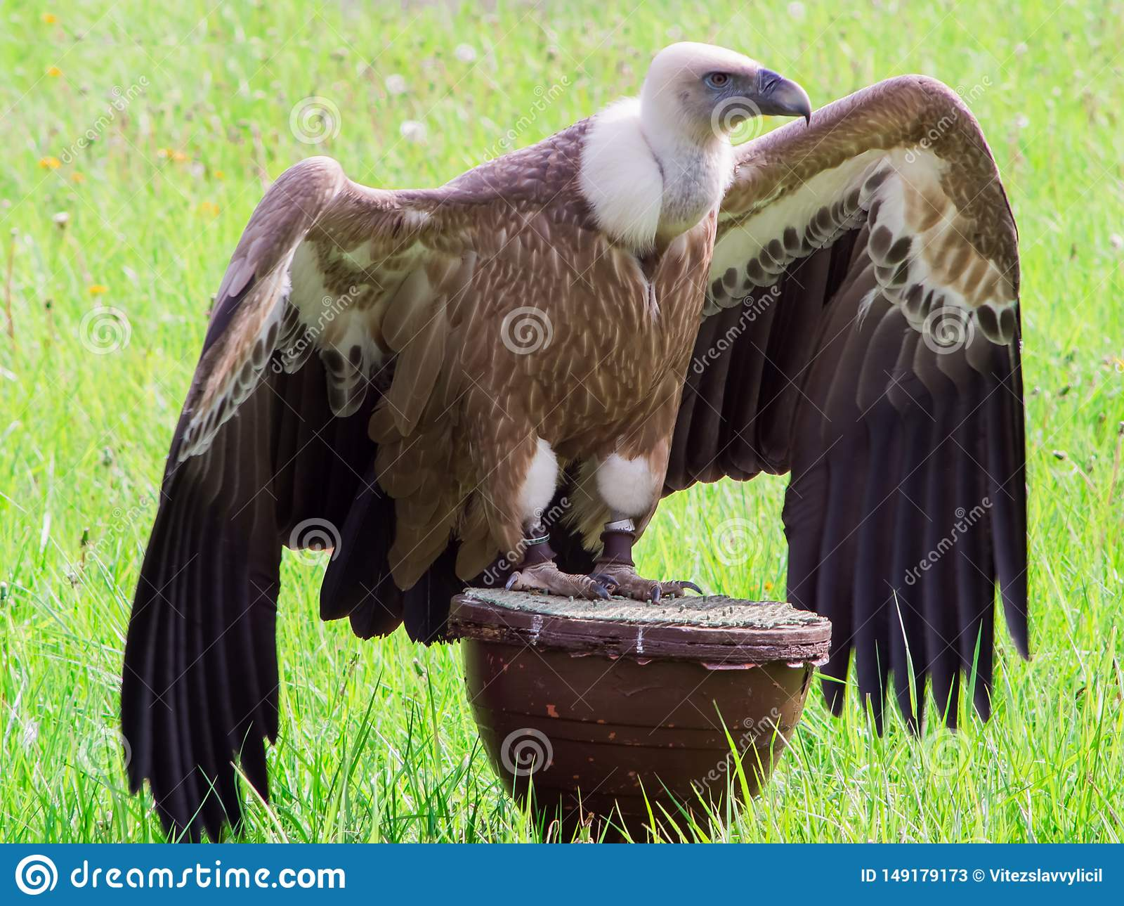 Griffon vulture on a stand