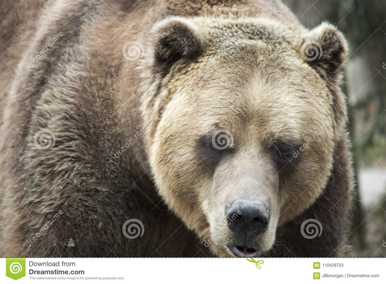 Female Grizzly Bear Front View Stock Image Image Of Outdoors Mammals 110429703 Find the perfect bear front stock illustrations from getty images. https www dreamstime com female grizzly bear front view front view female grizzly bear spring mouth open image110429703