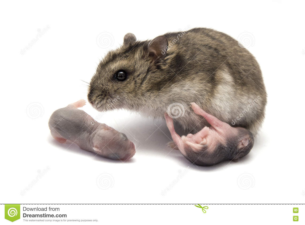 Female hamster with his new baby born hamsters