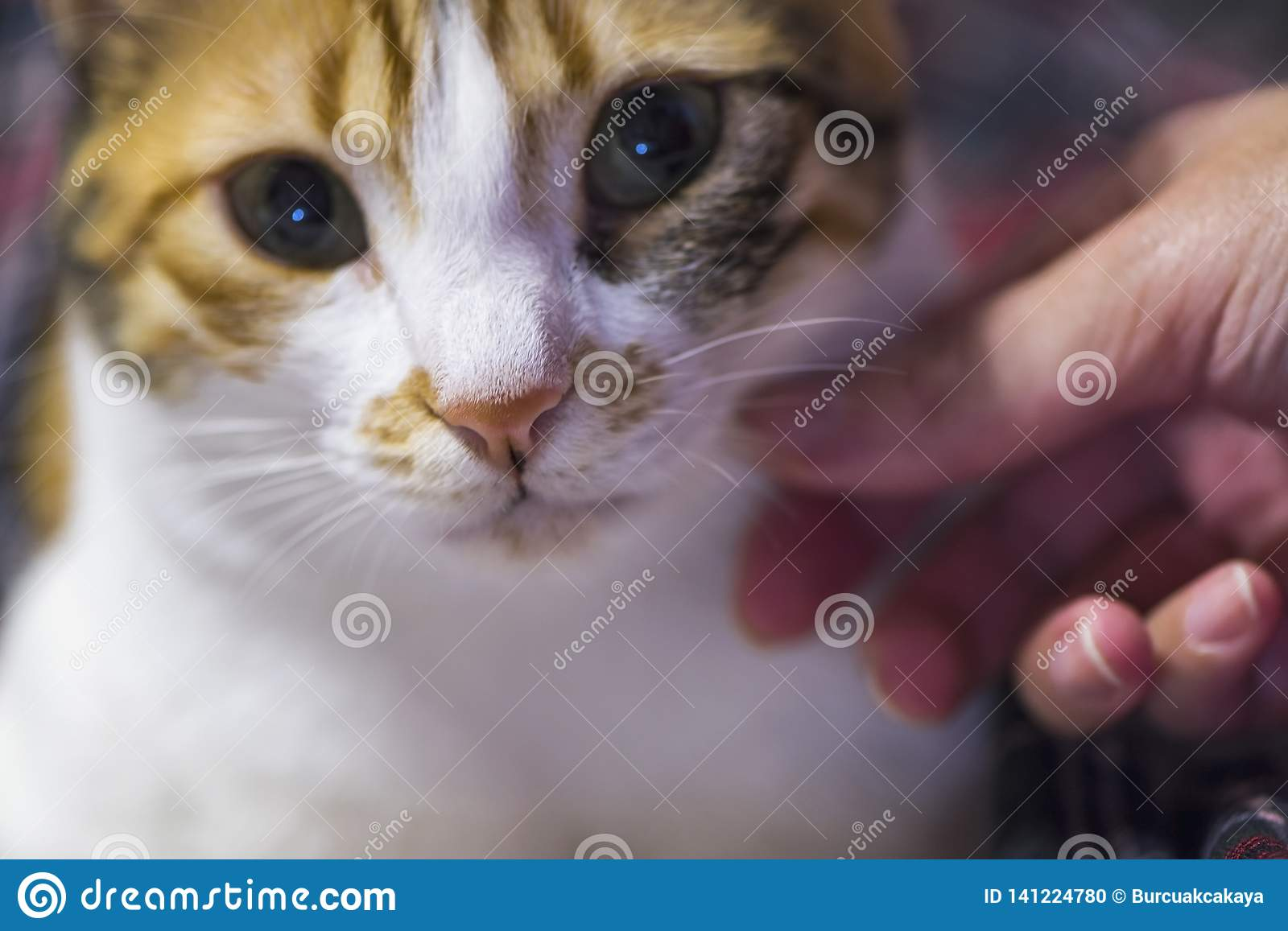 Female hand caress her calico cat softly, close up, indoor