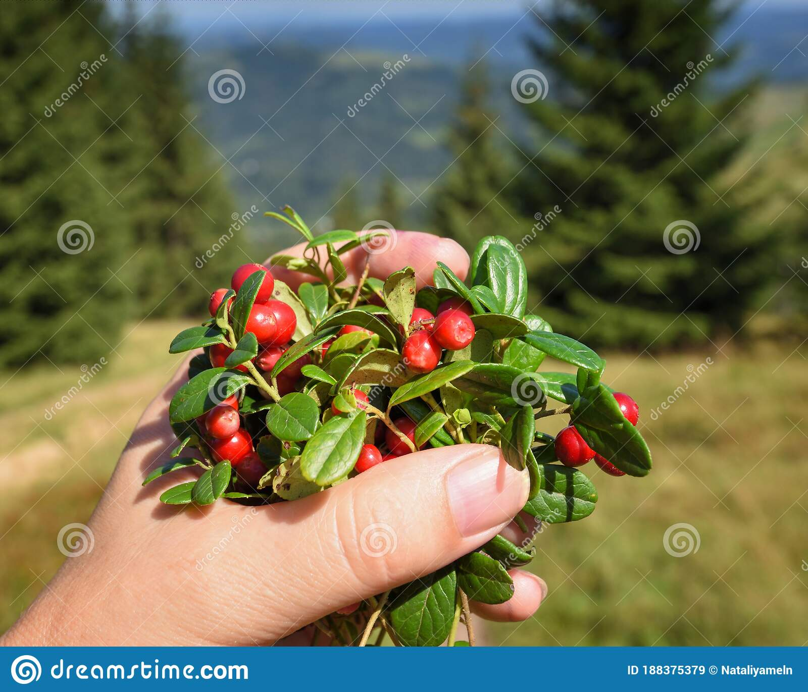 Female Hand With Cowberries Twigs With Berries And Leaves On ...