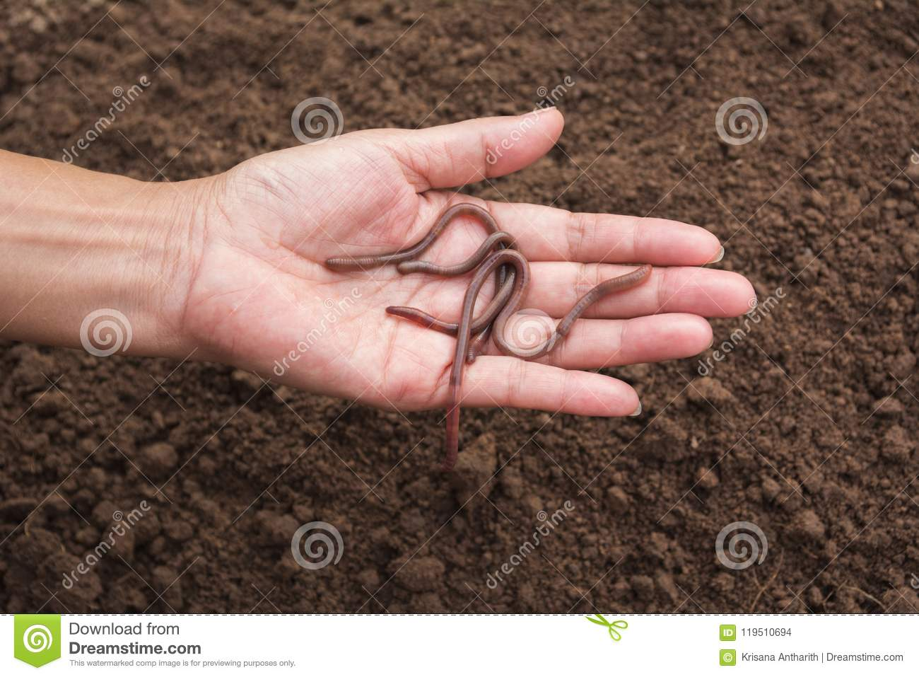 Female Hand Holding Earth Worms In Hands  Stock Photo - Image of