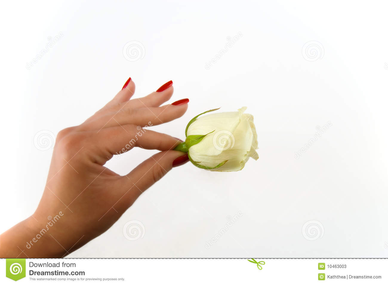 Female Hand Holding Rose On A White Background Stock Photos Image 10463003