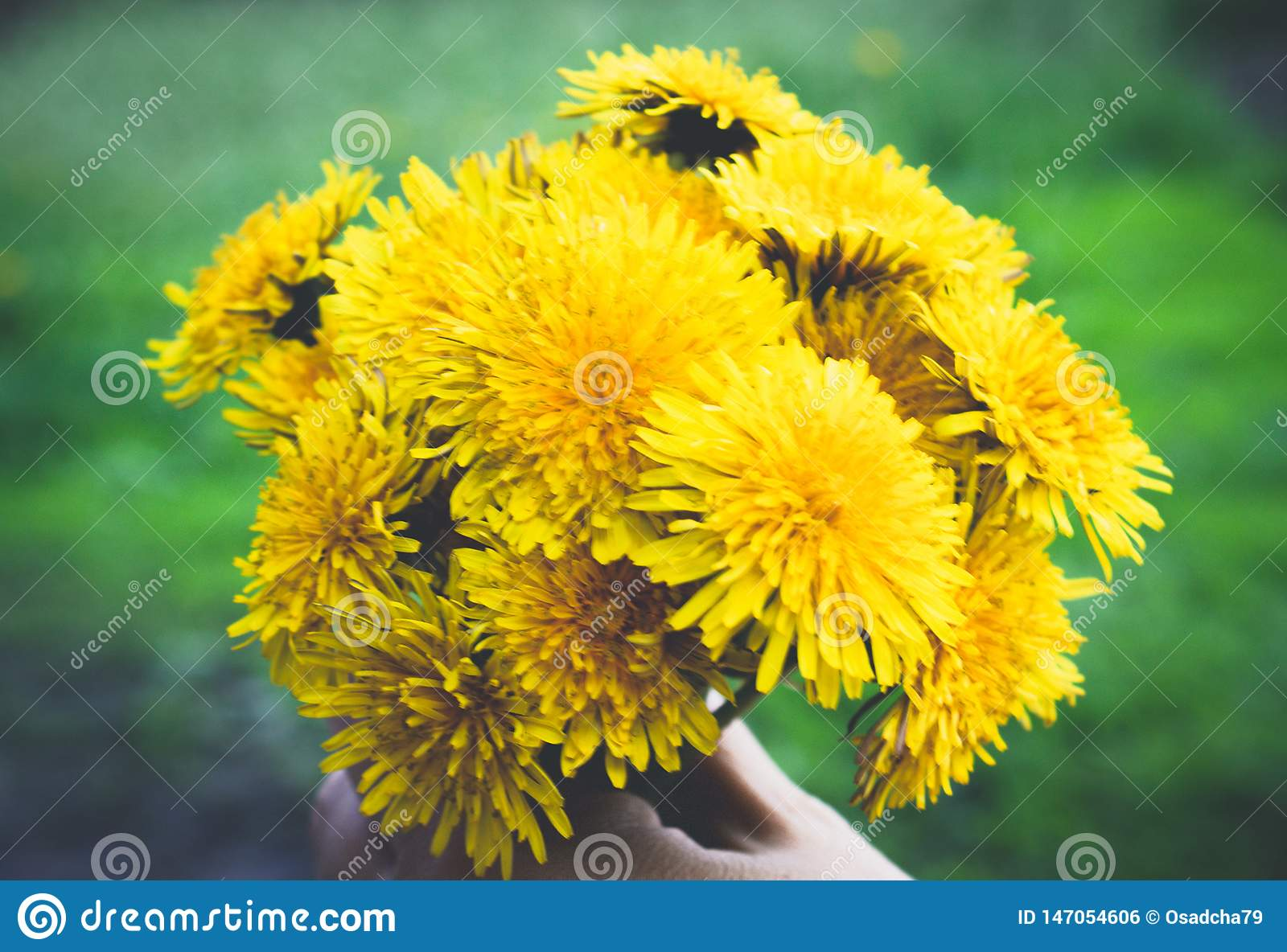 Female hand holding a small bouquet of yellow dandelion bouquet flowers. Close-up