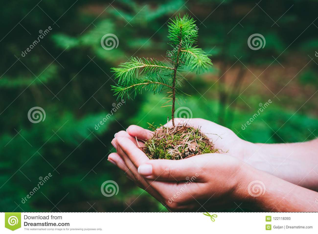 Female hand holding sprout wilde pine tree in nature green forest. Earth Day save environment concept. Growing seedling