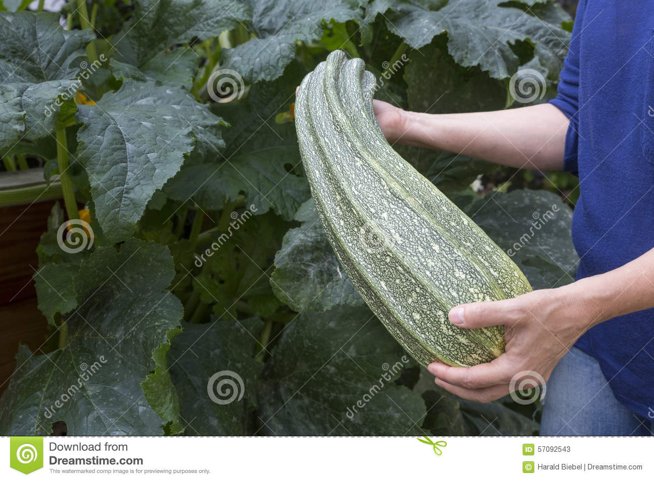 Female hands holding large courgette for Big hands for gardening