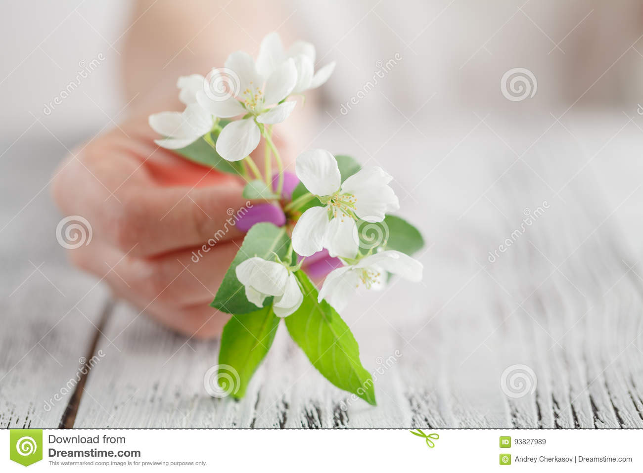 Female hands with manicure holding an apple tree flower. Apple or sakura spring blossom.