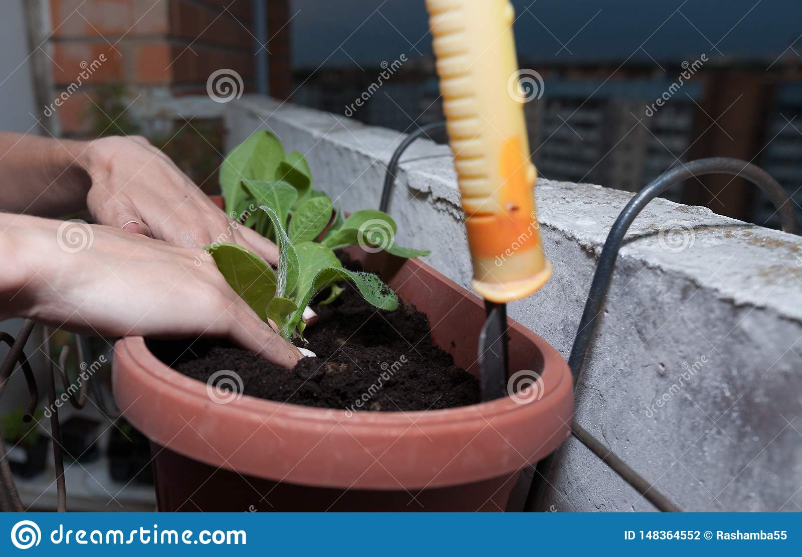 female hands plant flowers in the pot with earth on the balcony