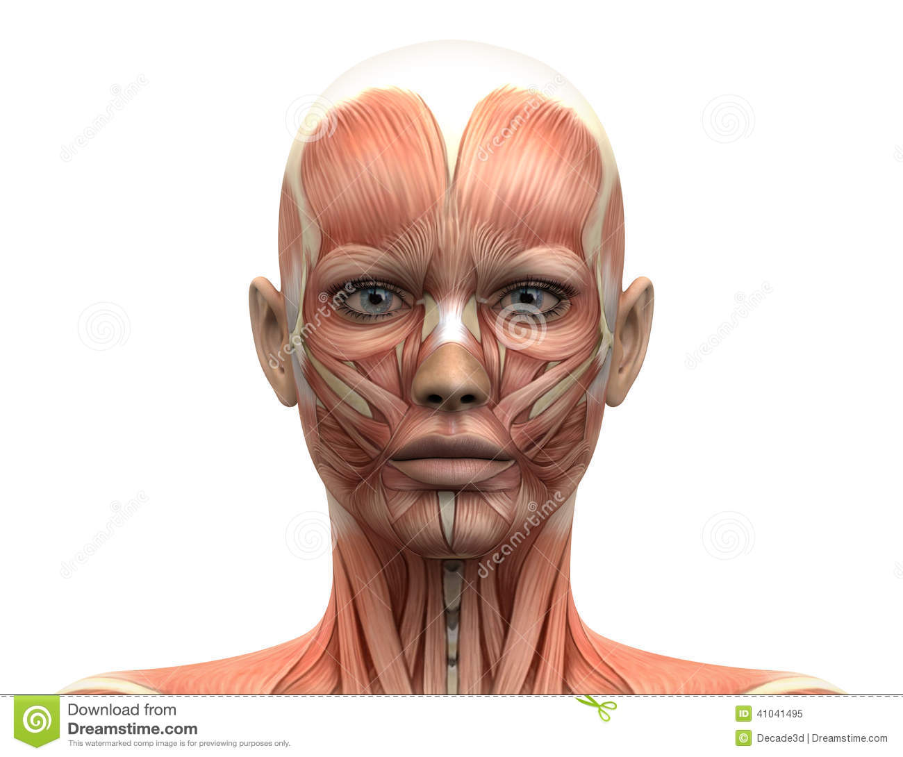 Female Head Muscles Anatomy Front View Stock Illustration
