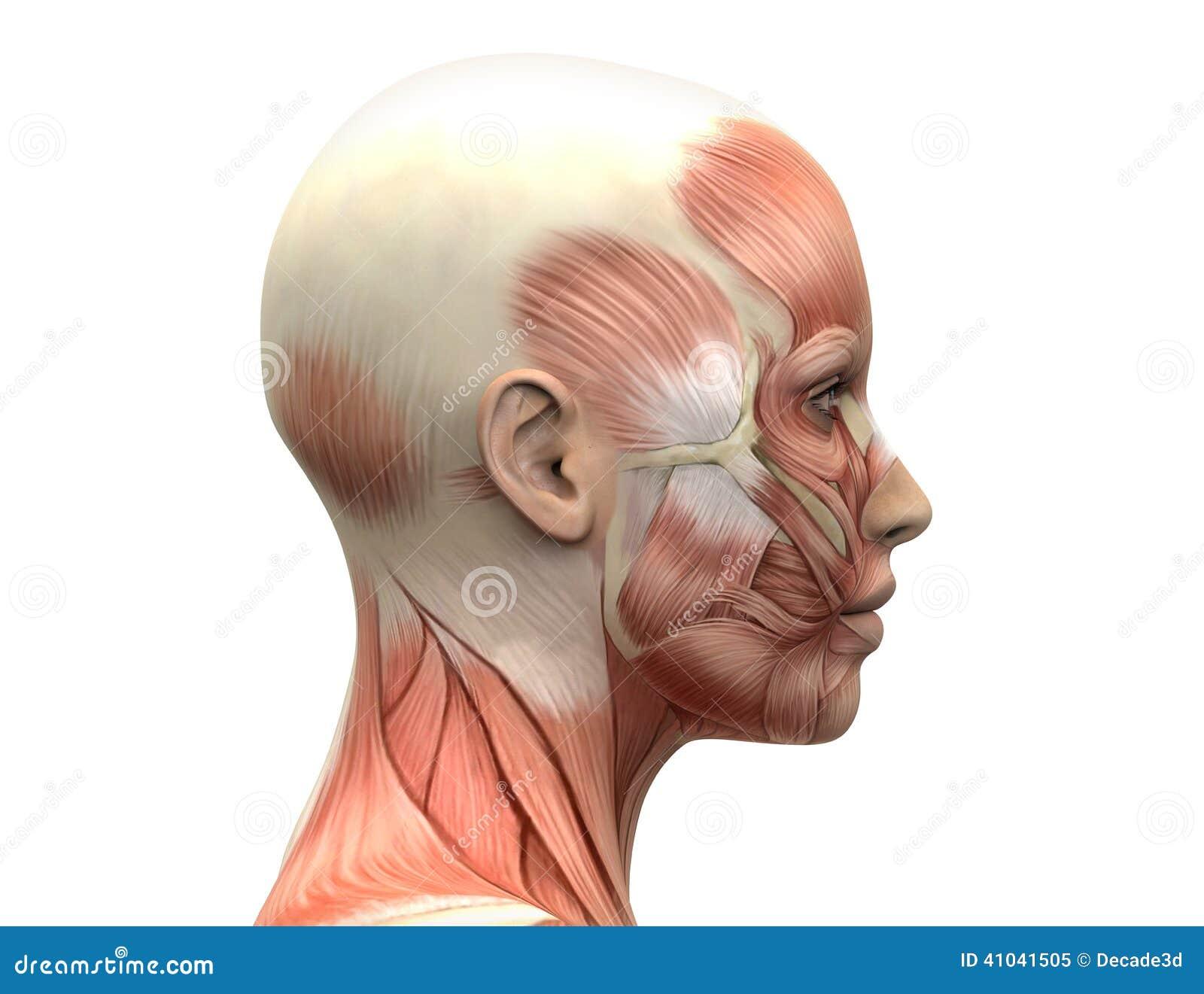 Human Side Face Anatomy Female Head Muscles Anatomy