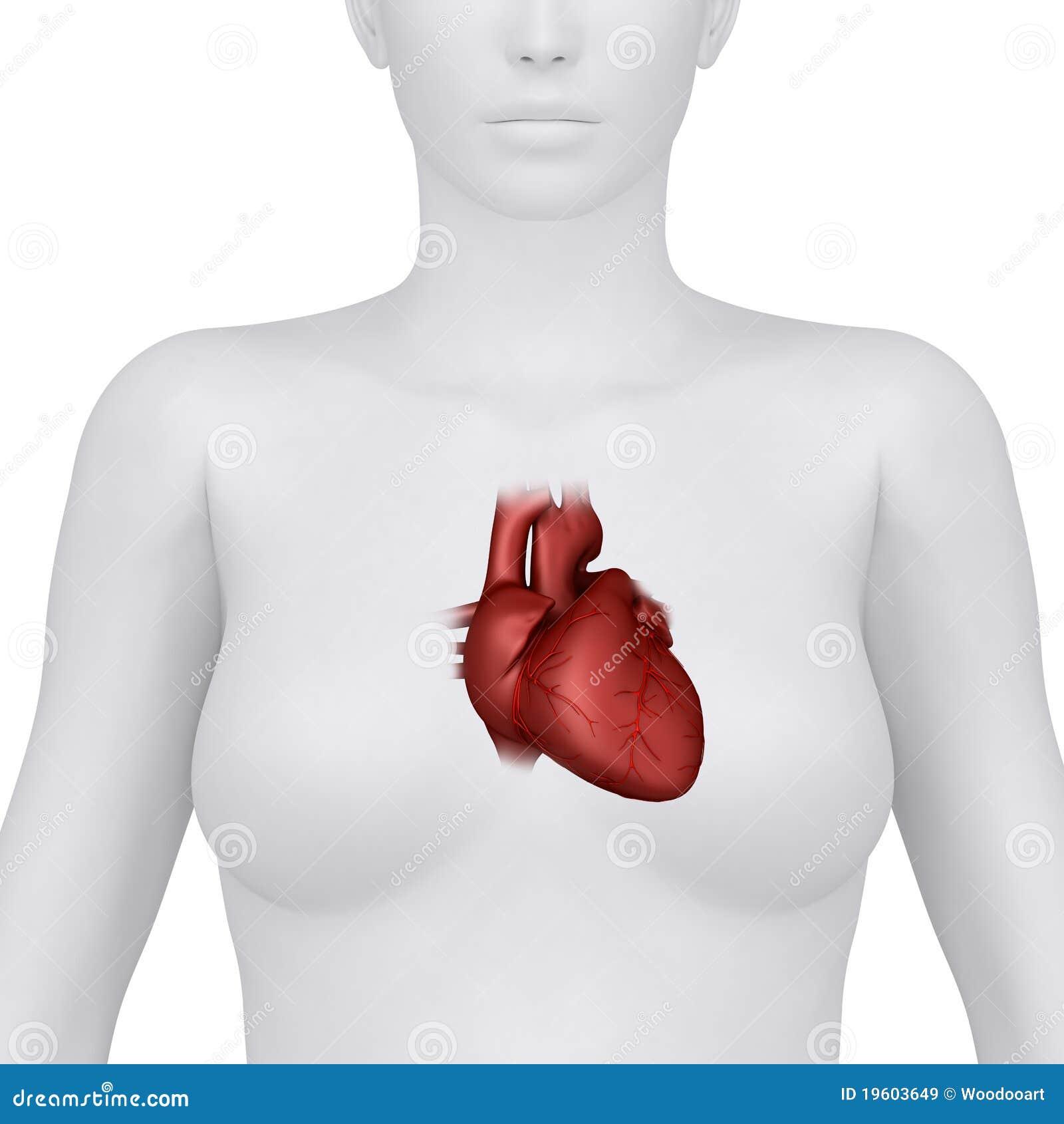 Female Heart Anatomy - Anterior View Stock Illustration ...