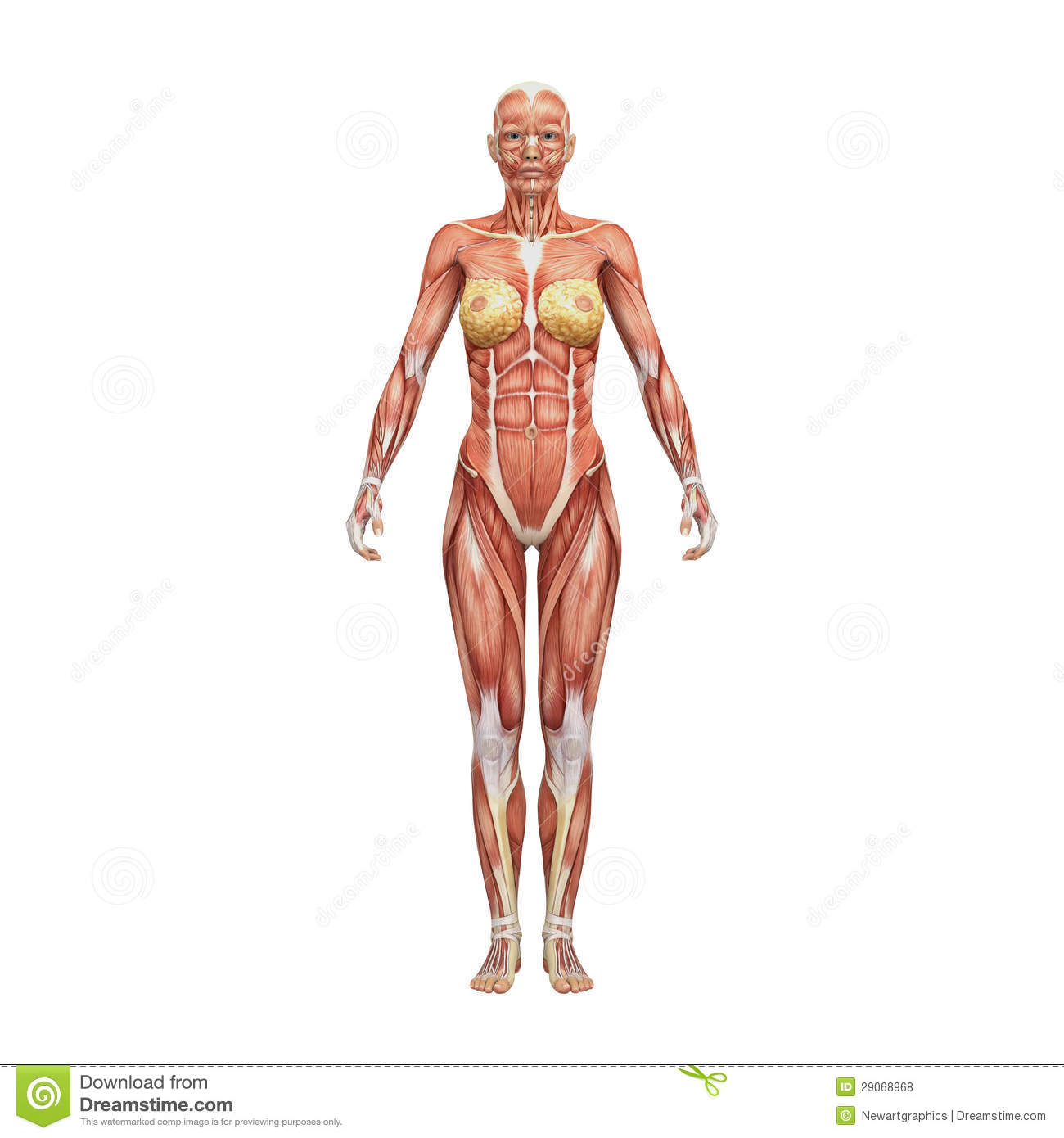 Female Human Anatomy And Muscles Stock Illustration - Illustration ...