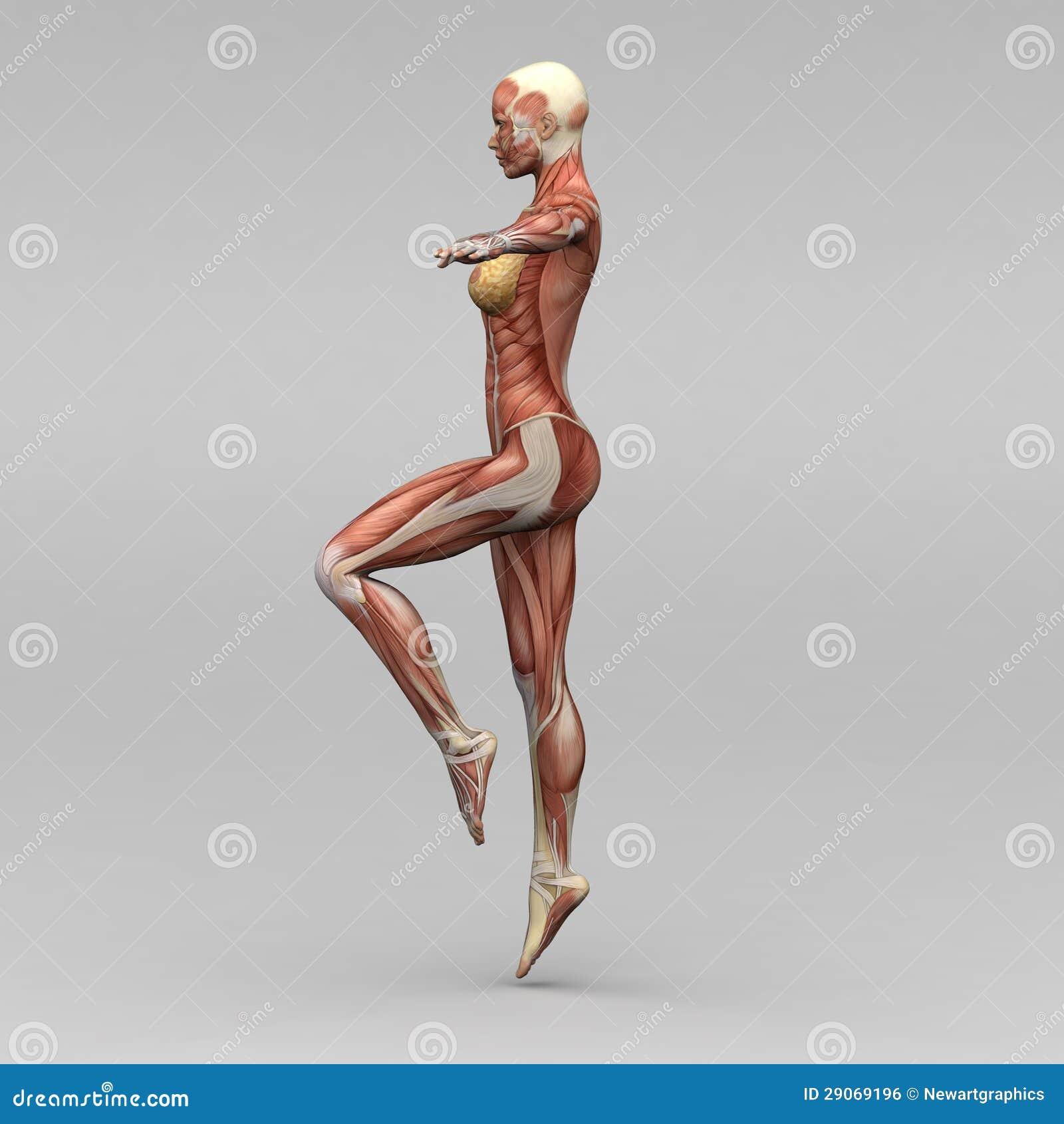 Female Human Anatomy And Muscles Stock Illustration Illustration