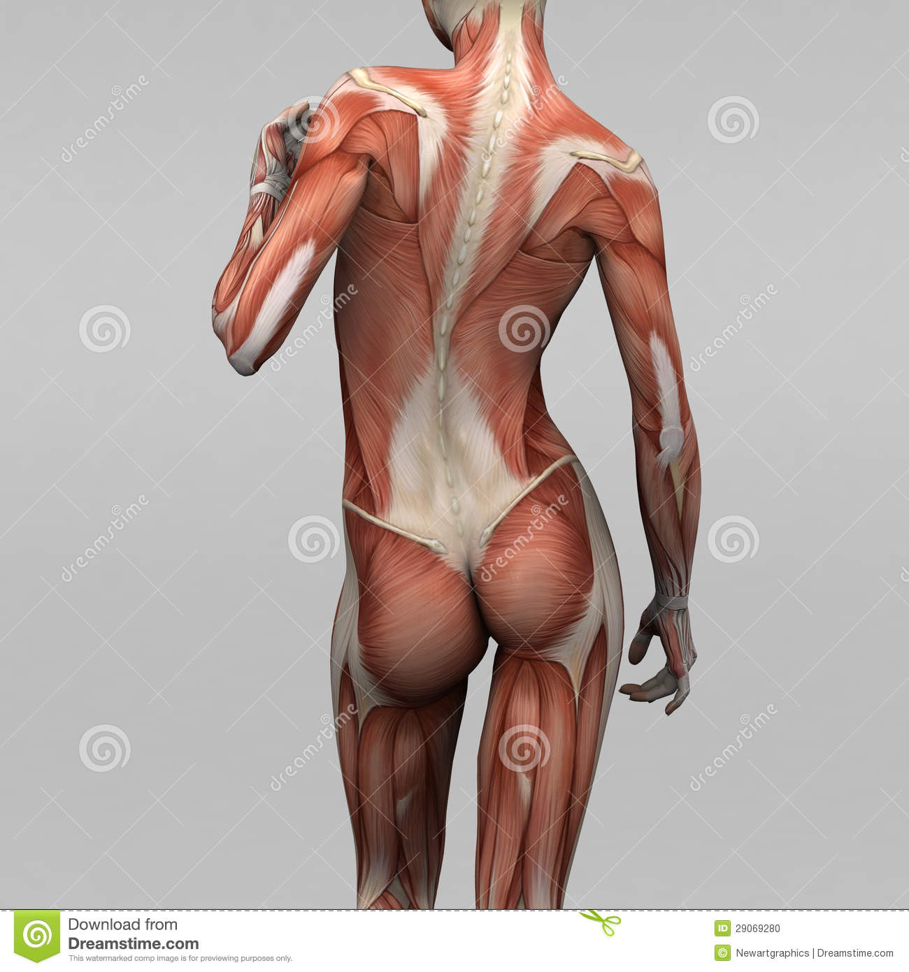 Female Human Anatomy And Muscles Stock Illustration
