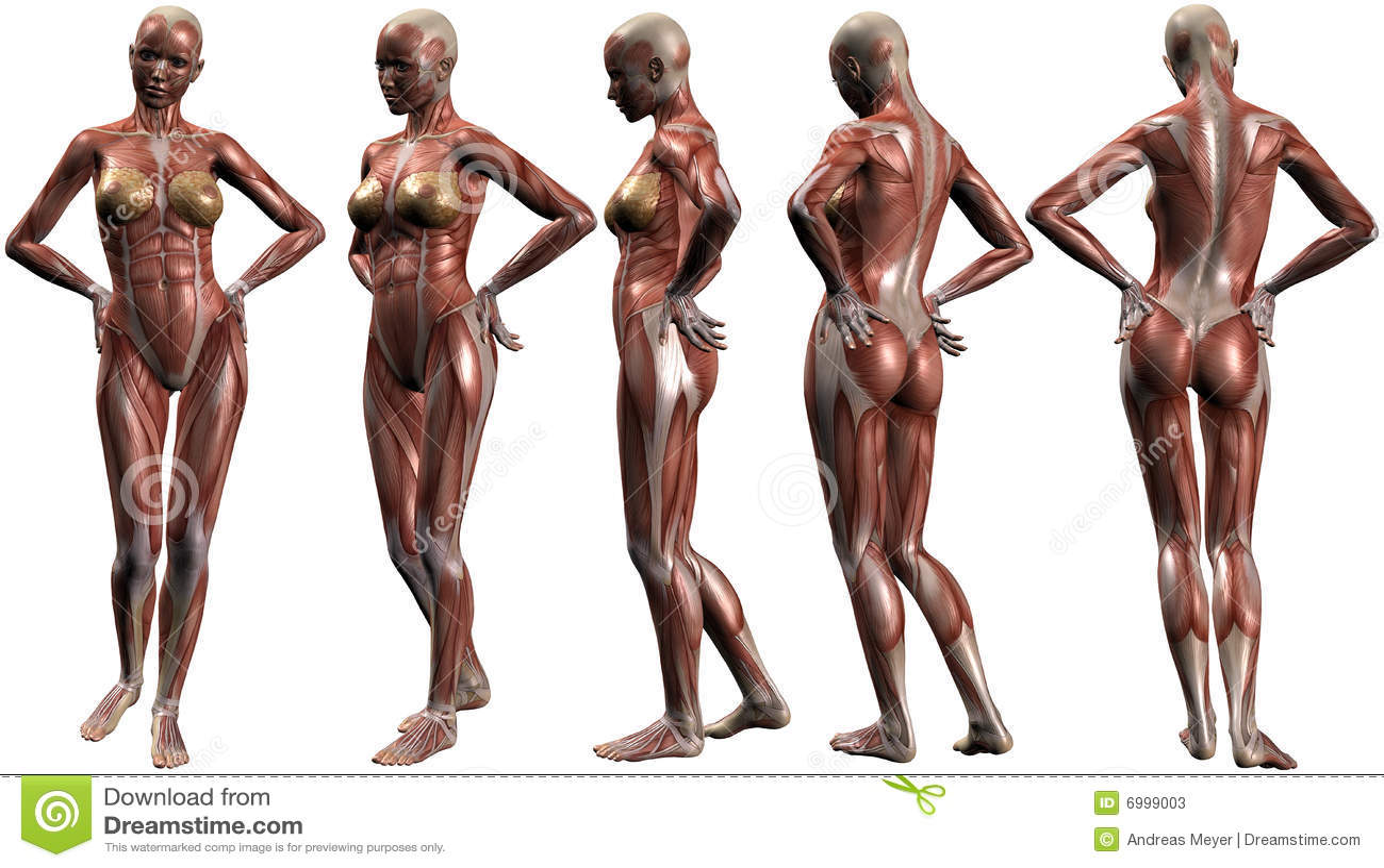 Female Human Body Anatomy Stock Photos - Image: 6999003