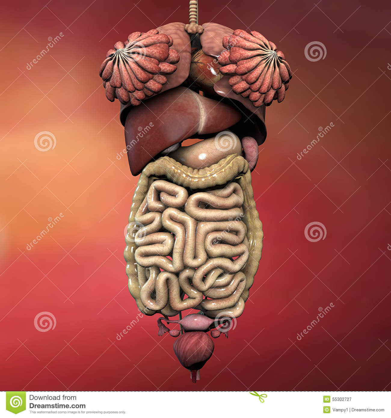 Female Human Body Anatomy Stock Illustration Of Diagram