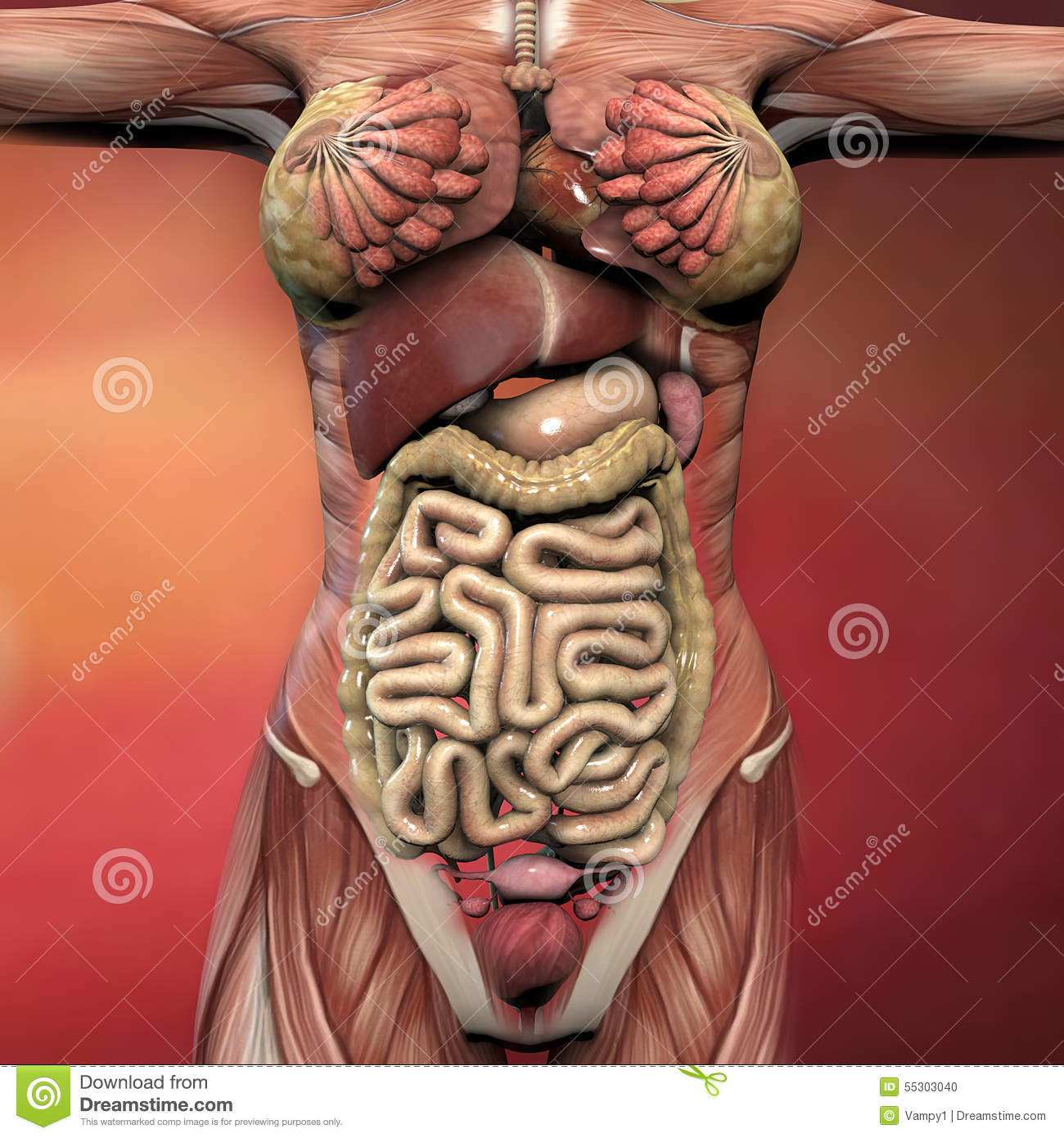 Female Human Body Anatomy Stock Illustration Illustration Of