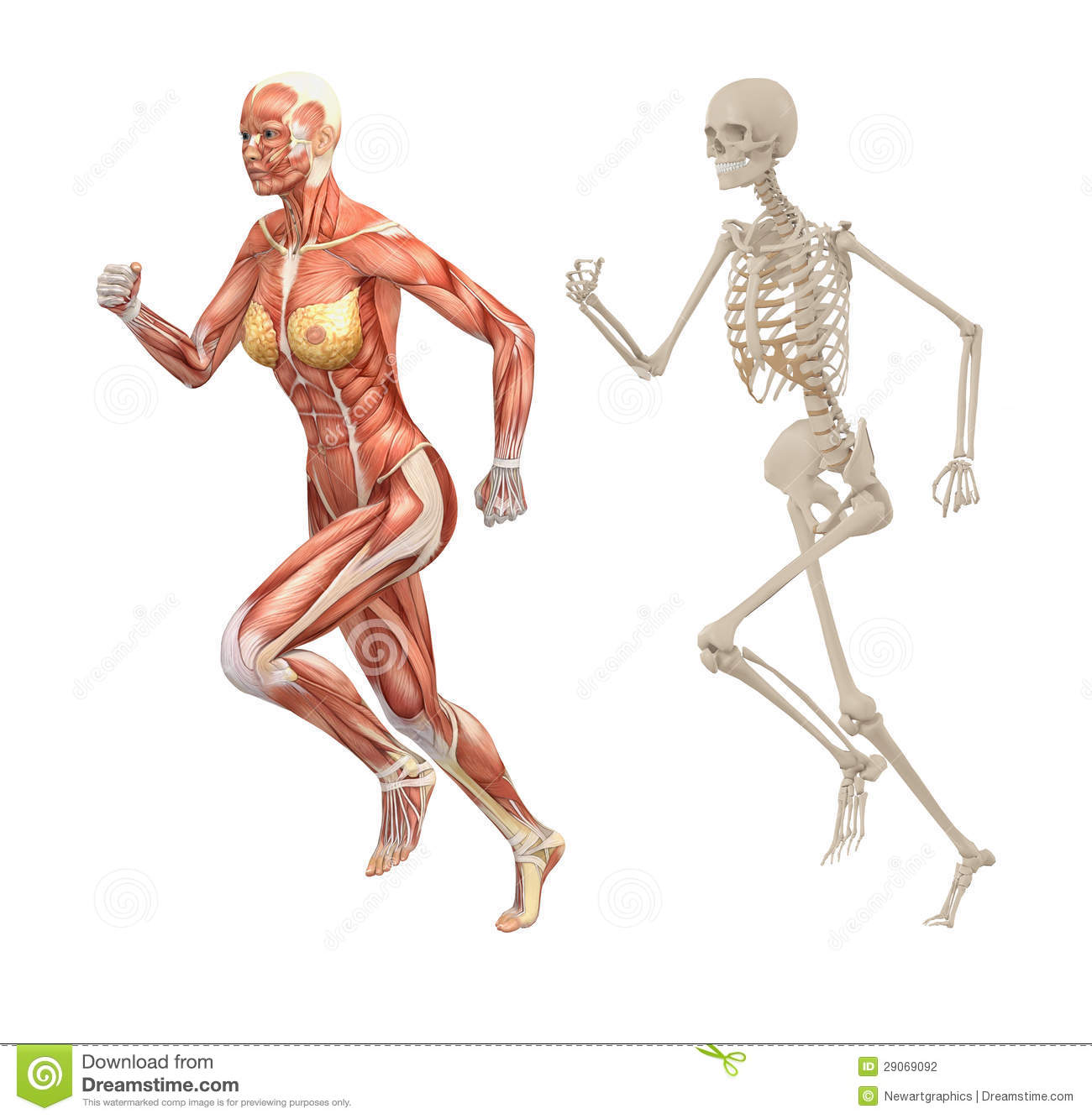 Female Human Muscles And Skeleton Stock Illustration ...