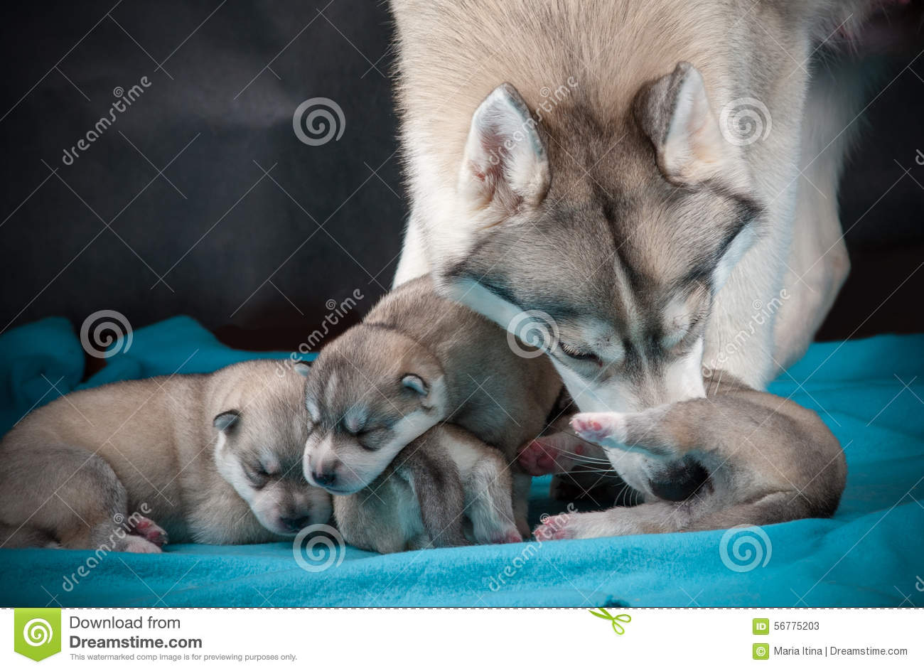 Female Husky With Newborn Puppies Stock Image Image Of Maternity