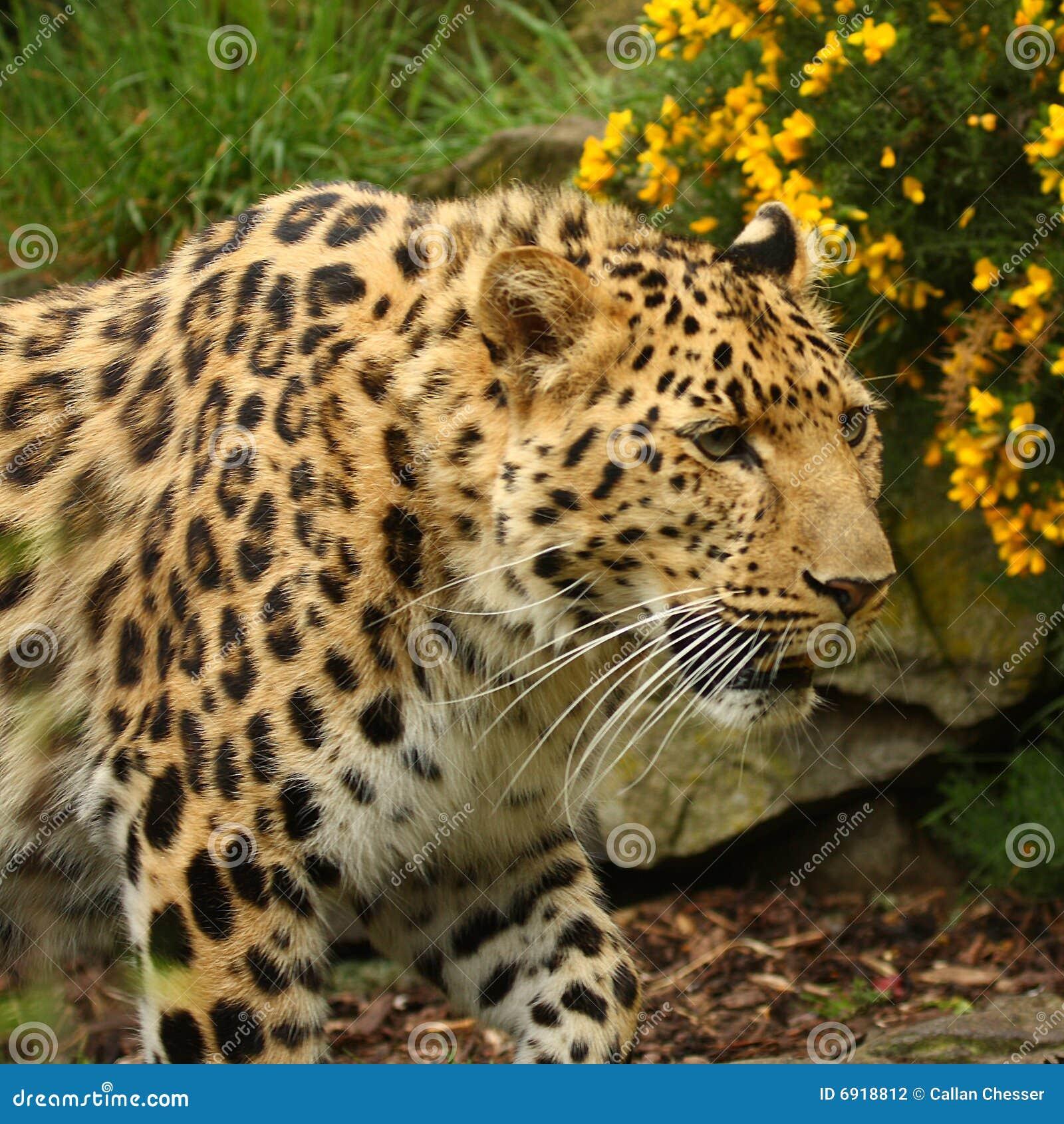 Female Jaguar: Female Jaguar Stock Photo. Image Of Panthera, Carnivore