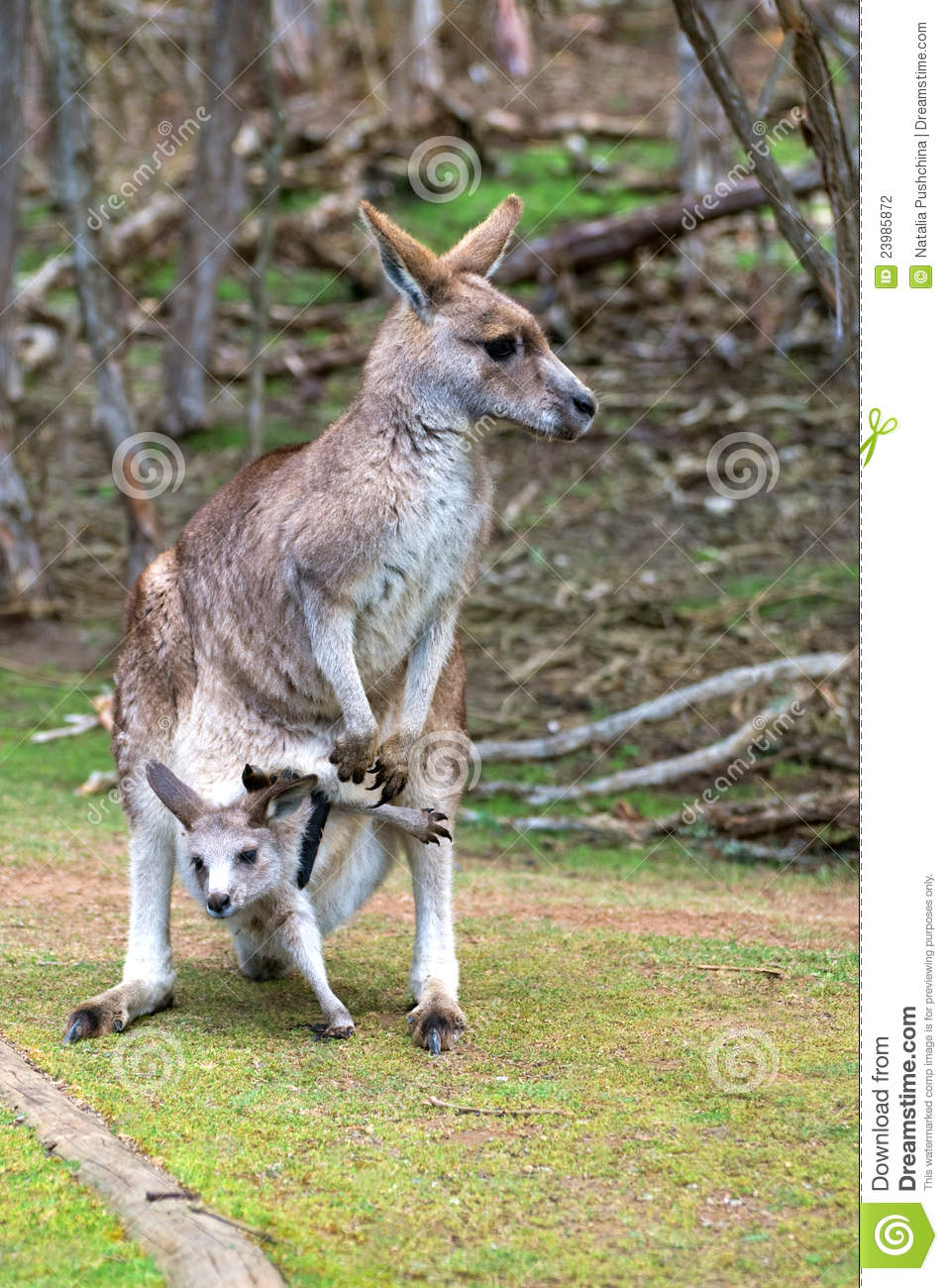 kangaroo and feature female kangaroos Female kangaroos sport a pouch on their belly, made by a fold in the skin, to cradle baby kangaroos called joeys  so the kangaroo mom uses her muscles to pump.