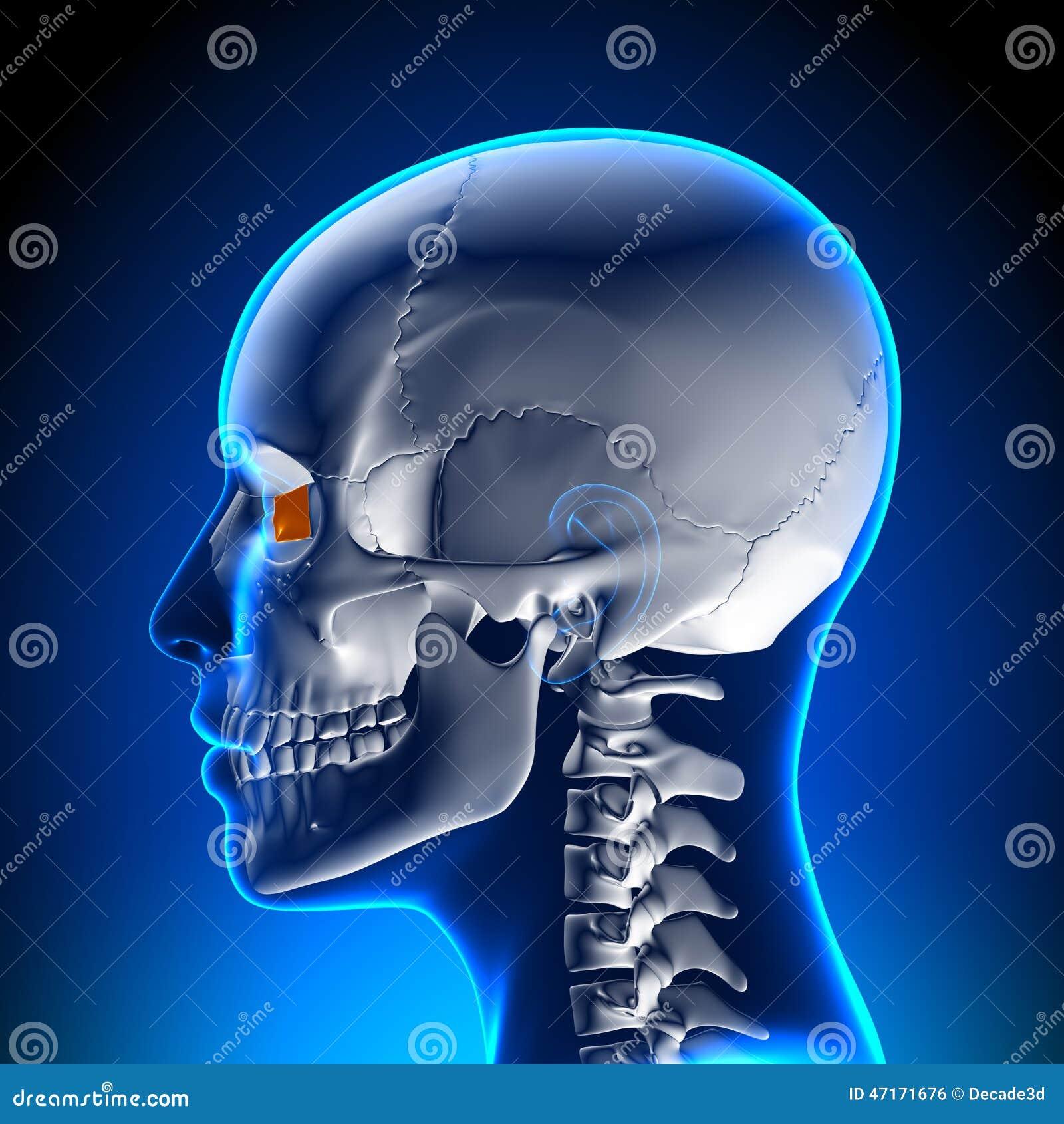 Female Lacrimal Bone - Skull / Cranium Anatomy Stock Illustration ...