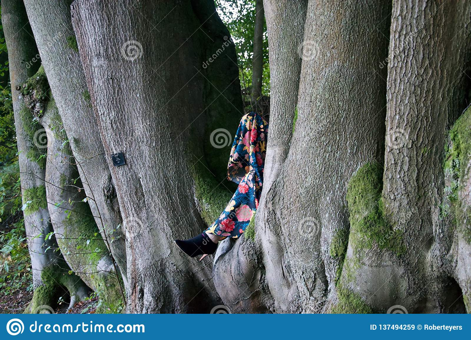 Lady`s legs in the cleft of beech trees