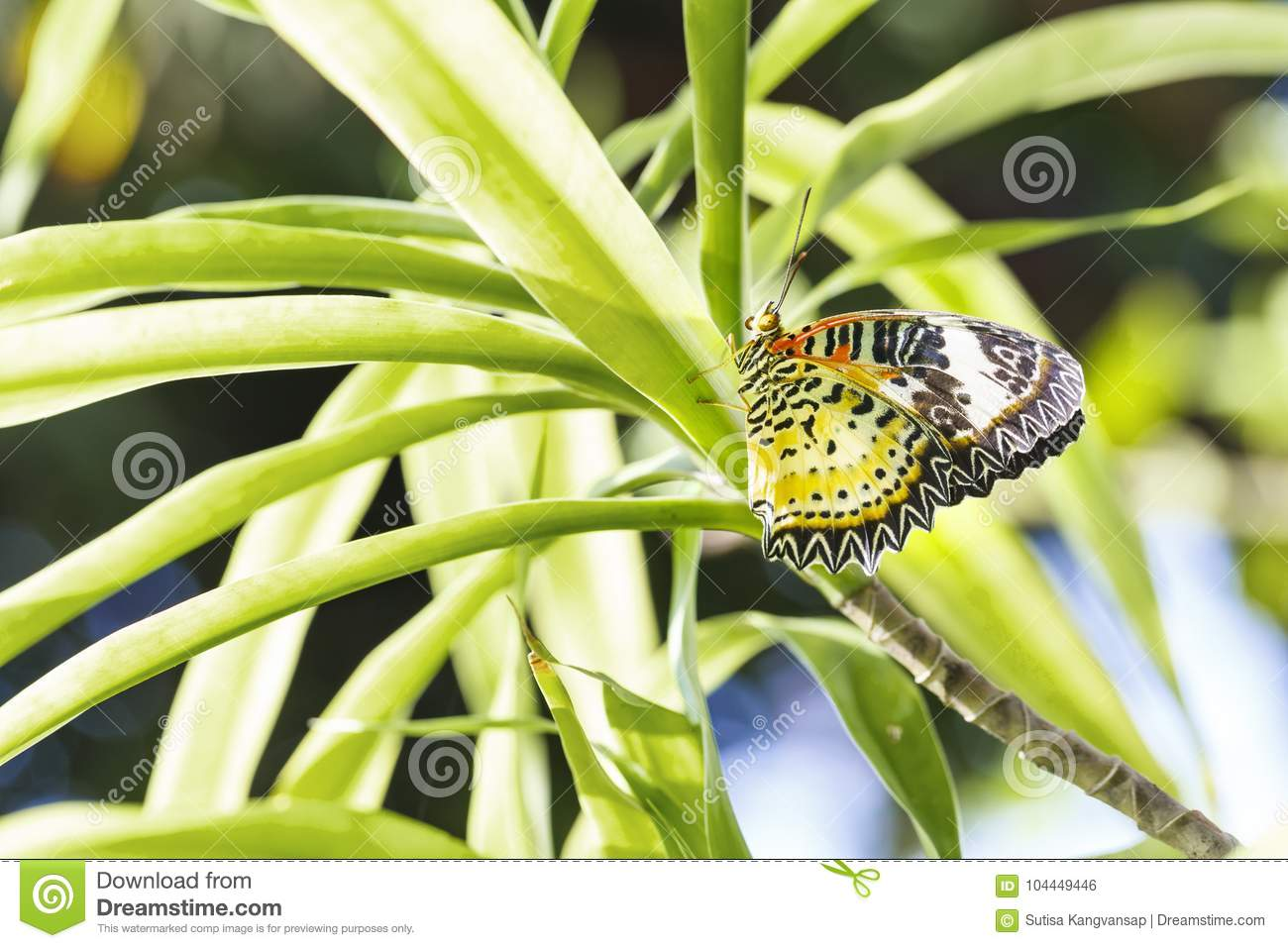 Female Leopard lacewing Cethosia cyane euanthes butterfly hang