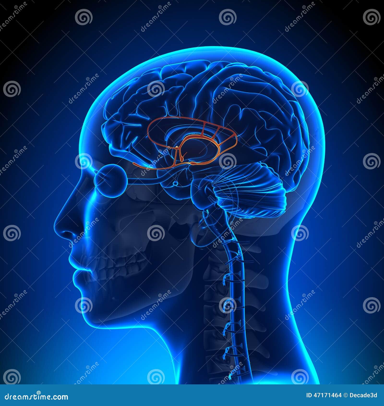 Female Limbic System - Anatomy Brain Stock Illustration ...
