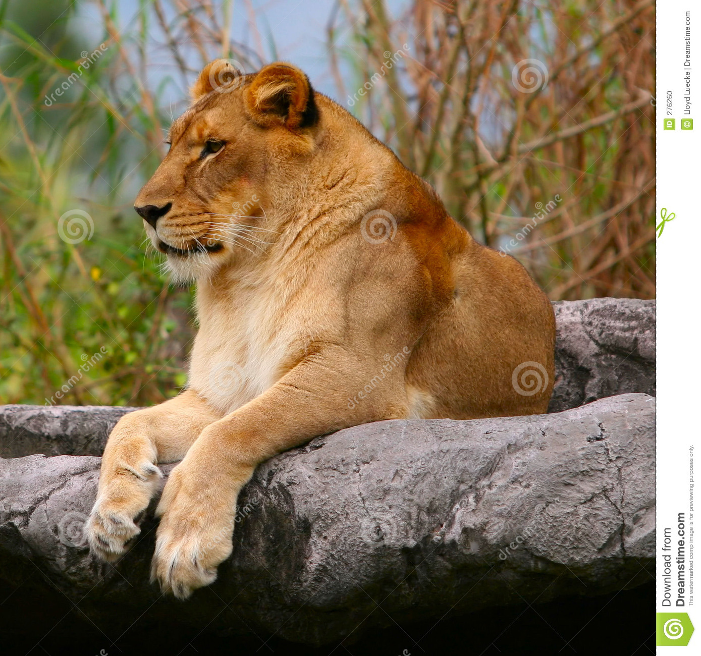 Female Lion Stock Photo - Image: 276260