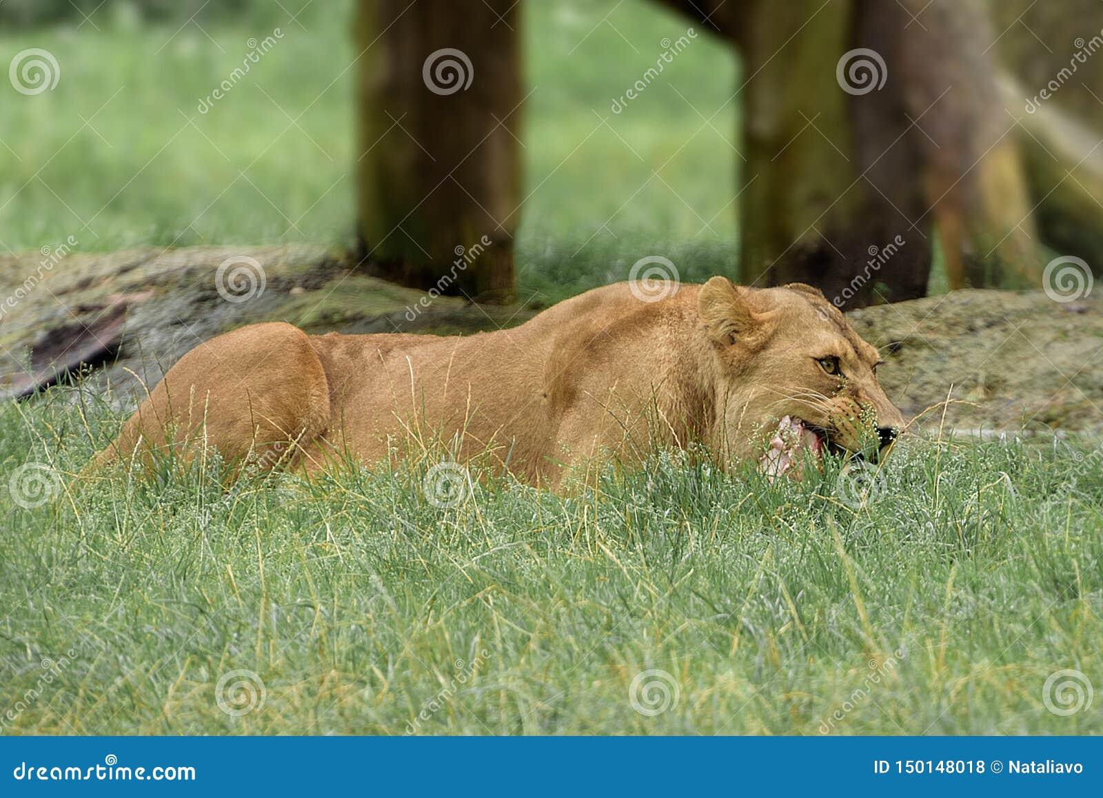 Female lion chews the animal`s bone
