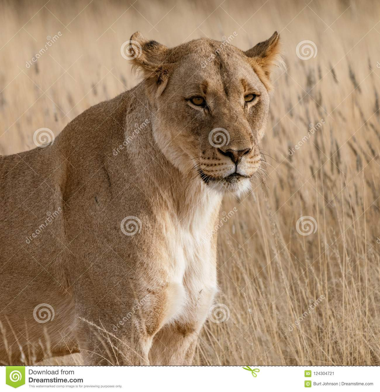 Female Lion Walks Across Dirt Toad Stock Image - Image of