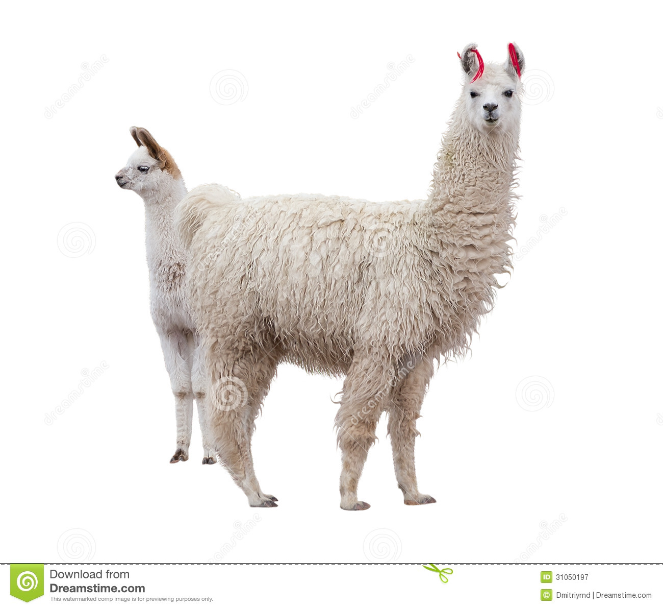 Female llama with baby royalty free stock photography image