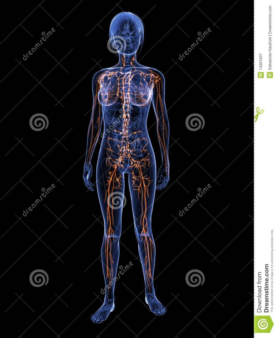 Female lymphatic system stock illustration. Illustration of swollen ...
