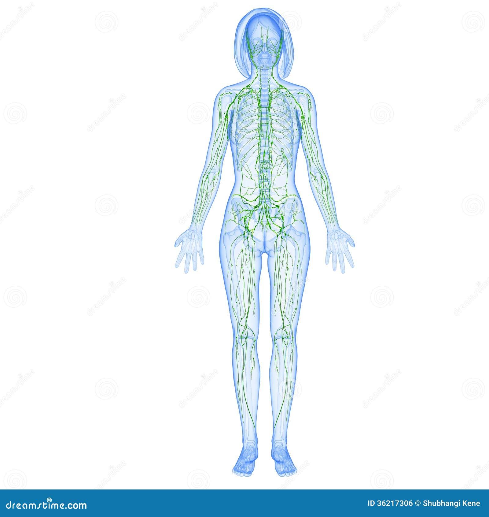 Female Lymphatic System Stock Illustration Illustration Of Gland