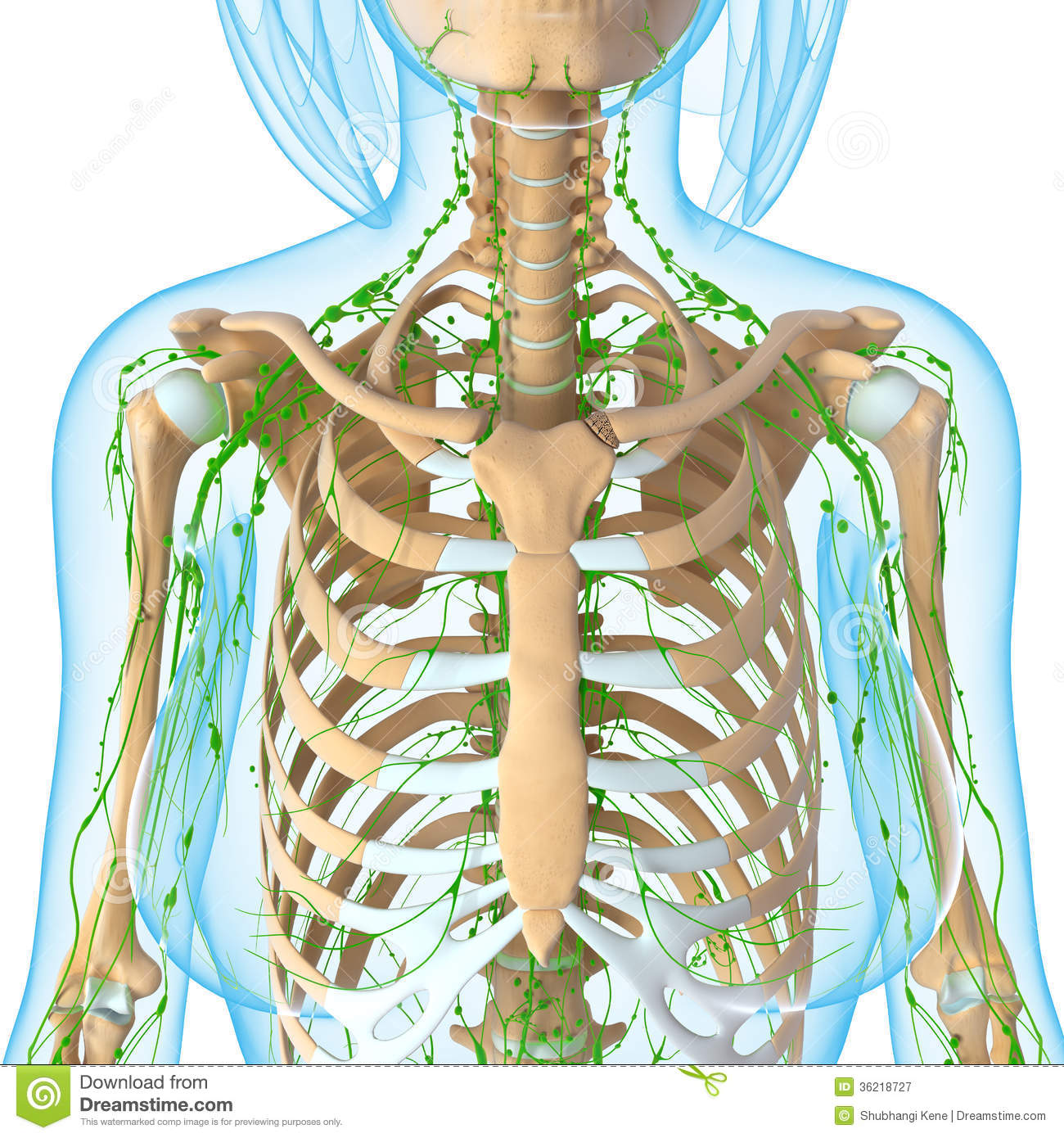 Female lymphatic system of half body stock illustration download comp ccuart Images
