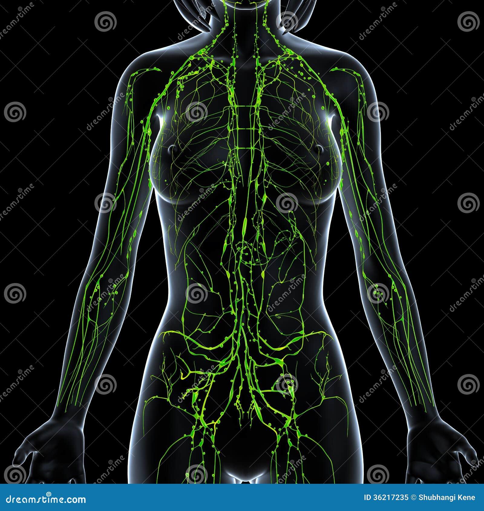 Female Lymphatic System X Ray Stock Illustration Illustration Of