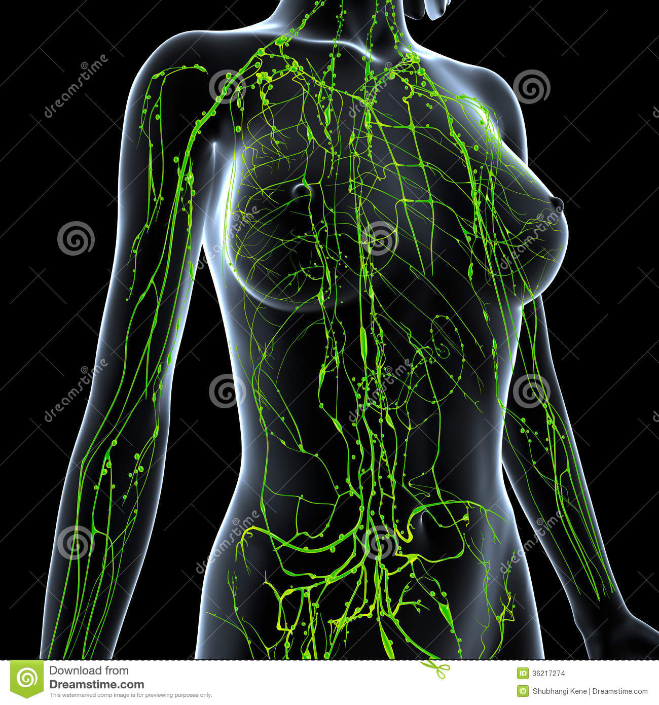 Female Lymphatic System X Ray Stock Illustration - Illustration of ...