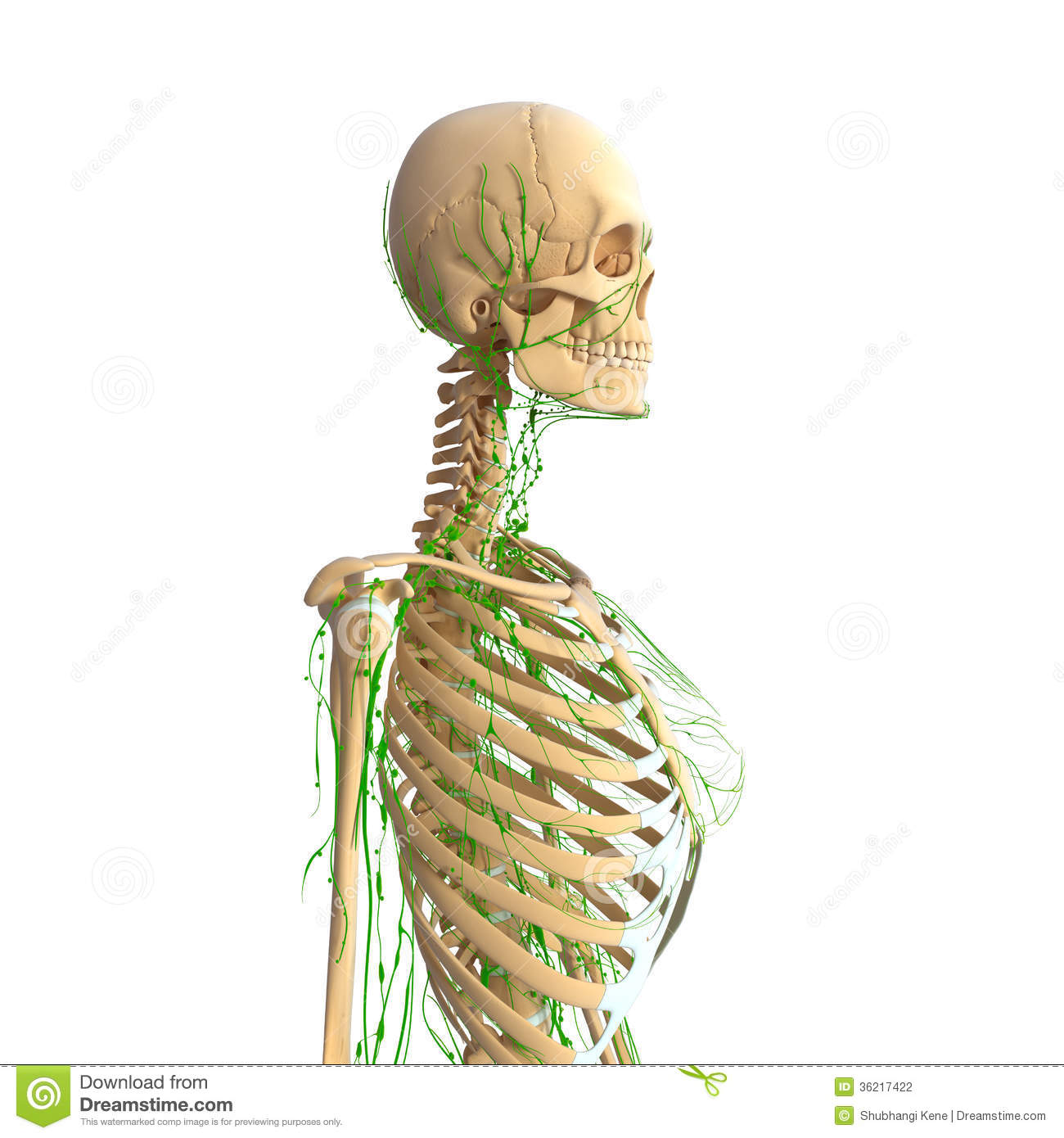 Female Lymphatic System With Skeleton Stock Illustration ...