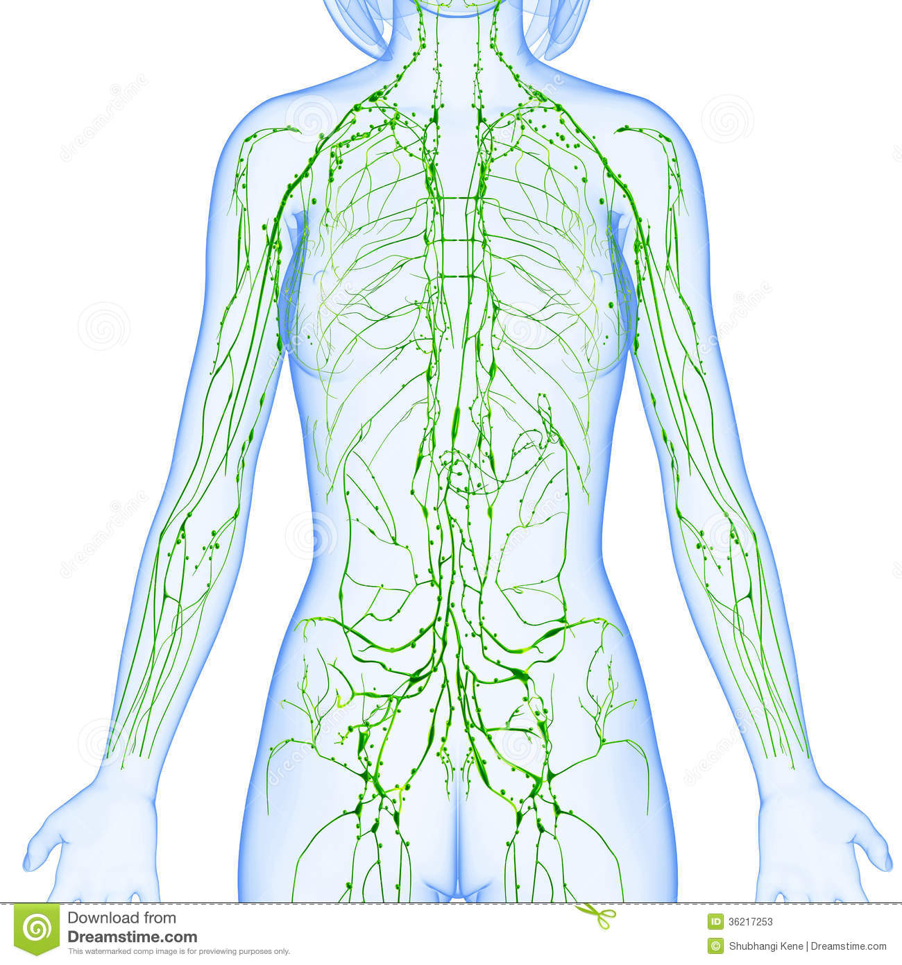 Female anatomy illustration of the Lymphatic system isolated & x ray.