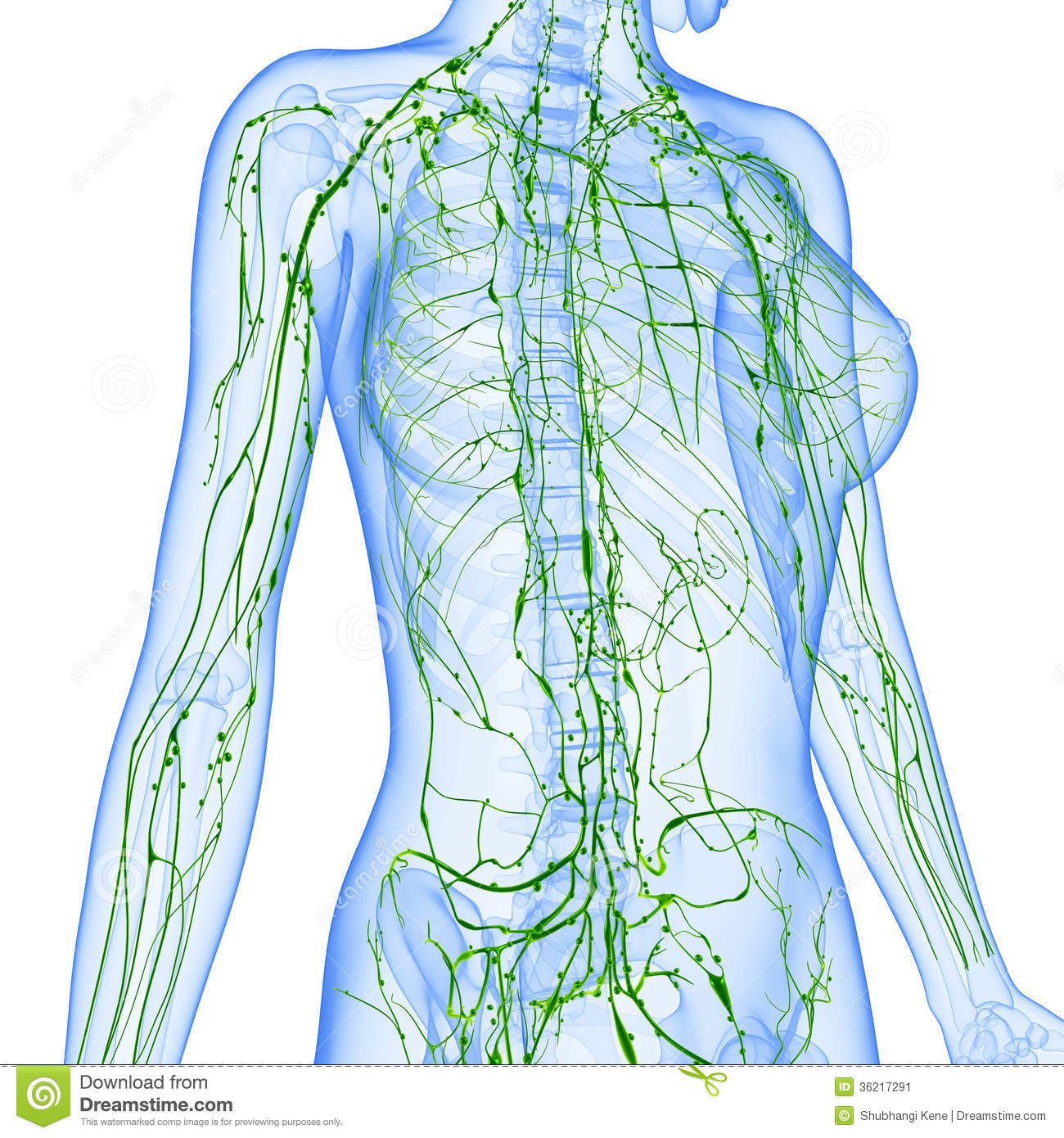 ... anatomy illustration of the Lymphatic system x ray with isolated