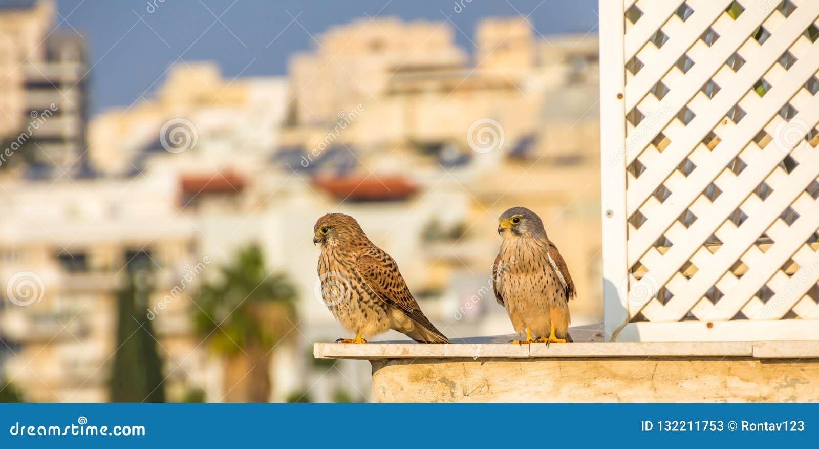 Female and male common kestrel Falco tinnunculus