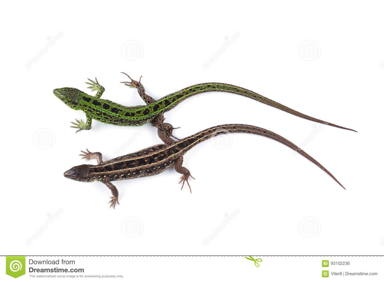 Female and male of sand lizard Lacerta agilis isolated on whit