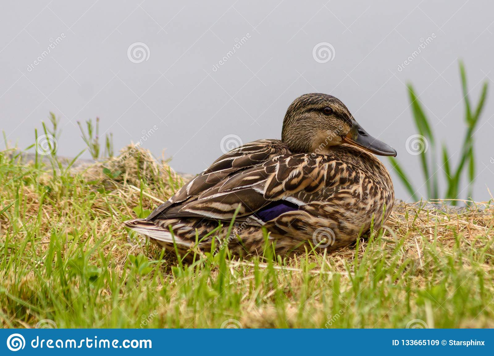 Female Mallard Anas Platyrhynchos Resting Next To A Lake