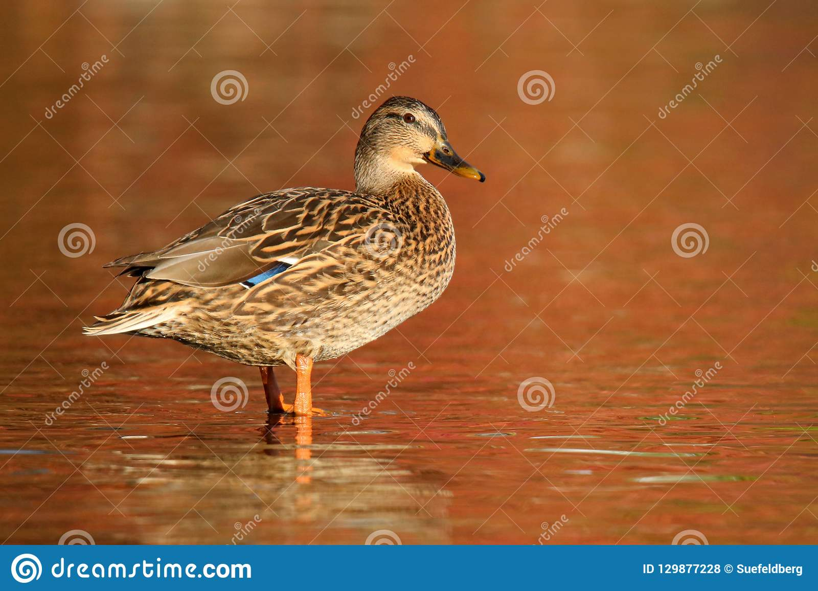 Mallard Duck on orange water in Fall at Dusk