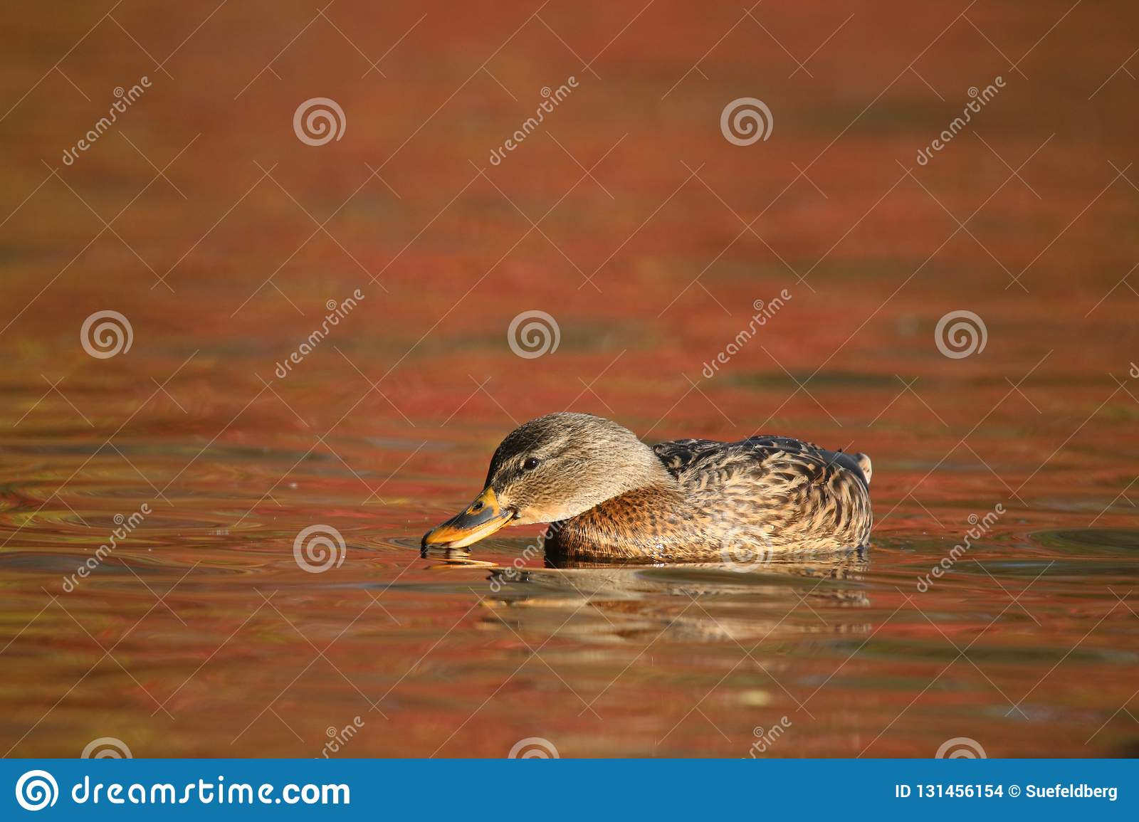 Mallard Duck swimming on orange water in Fall at Dusk