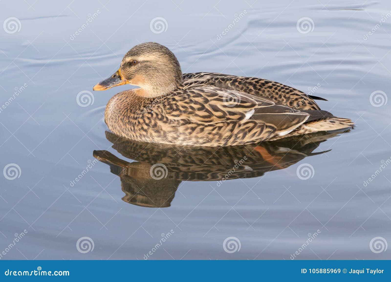 A mallard duck with reflection