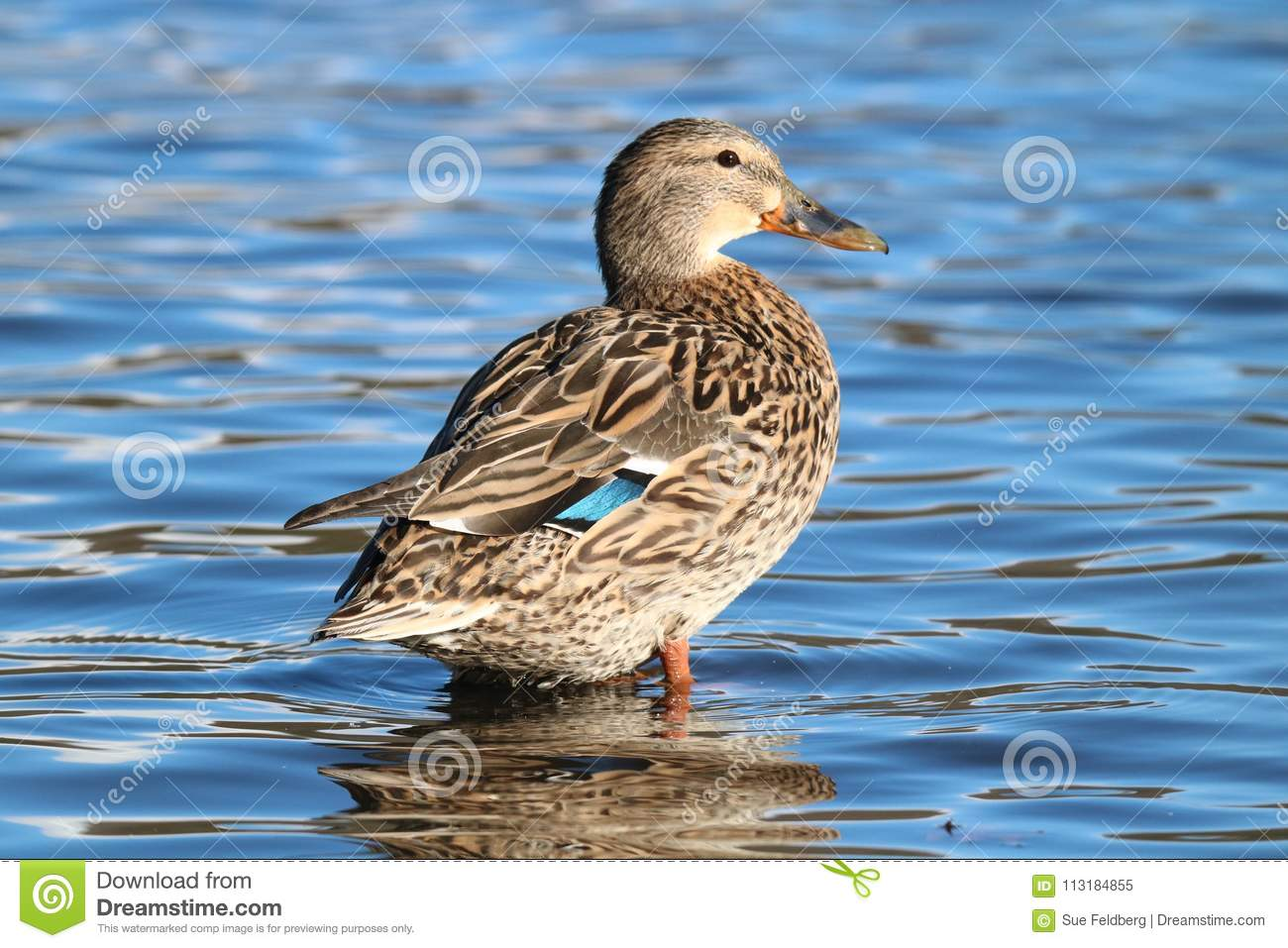 Resting Female Mallard Duck Stock Image Image Of Dabbling