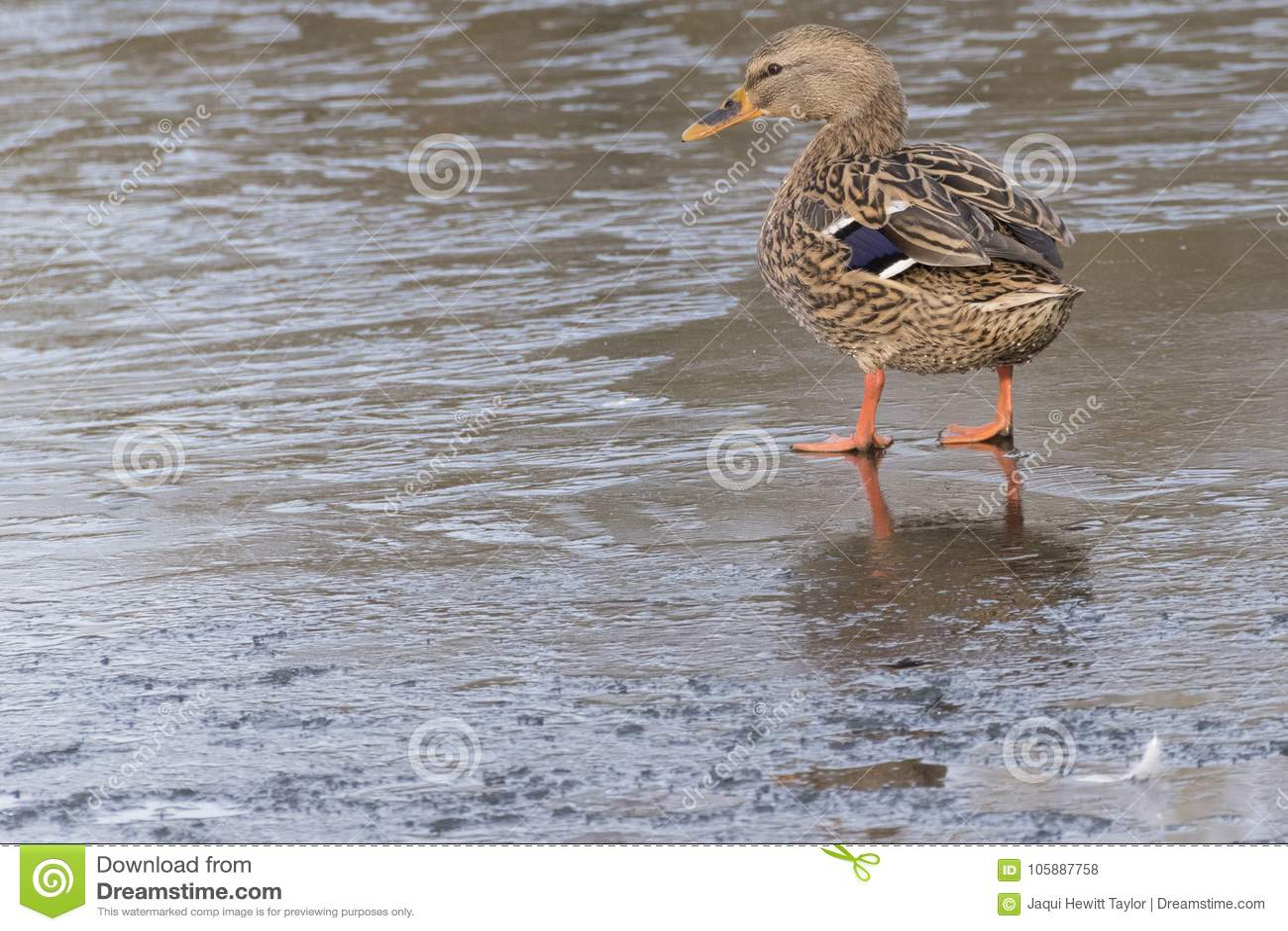 A mallard duck standing on ice